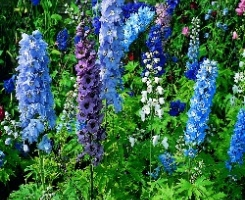 Delphinium Light Blue White Bee