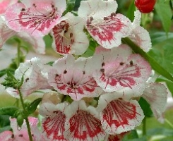 Penstemon Strawberries & Cream