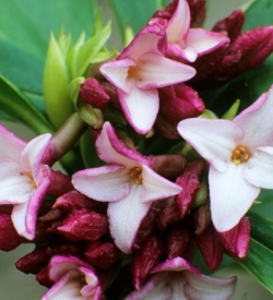 Daphne odora Aureomarginata - SAVE £5 when you buy two