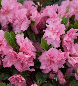 Rhododendron Dwarf Double Pink Re-blooming