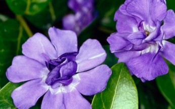 Vinca minor (Lesser Periwinkle) Double Temptation