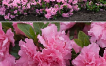 Rhododendron Reblooming Double Pink