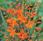Crocosmia Babylon