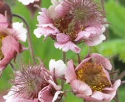 Geum Censation Two Tone Pear