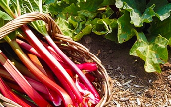 Rhubarb Rheum x hybridum Timperley Early