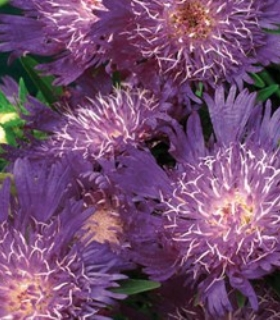 Stokesia 'Colorwheel' Stokes' aster from North Creek Nurseries