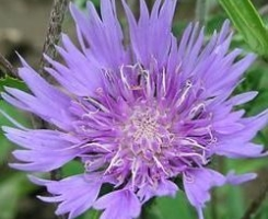 Stokesia laevis Mary Gregory