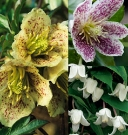 Clematis Winter Flowering Collection