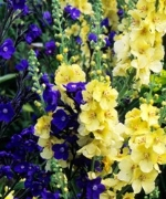 Collection Anchusa Loddon Royalist & Verbascum Gainsborough