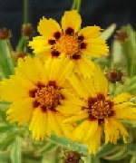 Coreopsis Collection