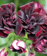 Geranium (Pelargonium) Trailing Black Rose