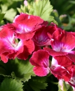 Pelargonium Sweet Mimosa