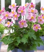 Anemone hupehensis Little Princess