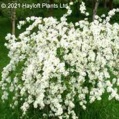 buy exochorda macrantha the bride plant online hayloft. Black Bedroom Furniture Sets. Home Design Ideas
