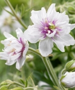 Geranium plenum Double Diamond Star