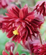 Aquilegia hybrid Ruby Port