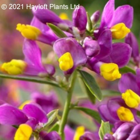 Plants & Plant Care Polygala chamaebuxus grandiflora Purple Passion