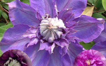 Clematis Reblooming Double Flowering Mix