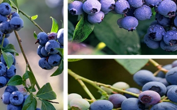 Collection All Season Blueberries
