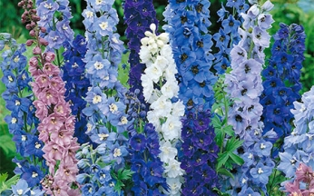 Delphinium Pacific Giants Mix