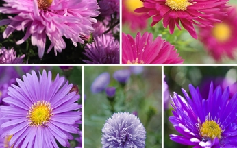Aster Sublime Mix