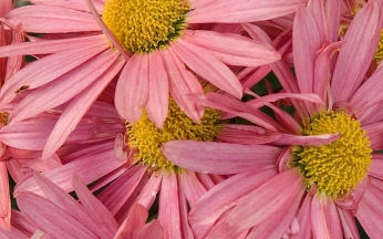 Chrysanthemum x rubellum 'Clara Curtis'