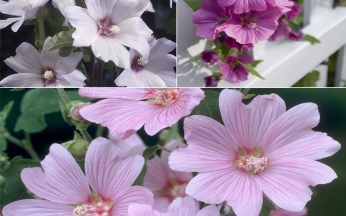 Lavatera Lovely Mix