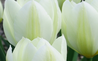 Tulip Purissima AGM - Early