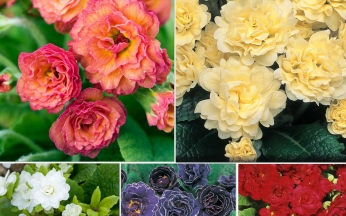 Primula Double Rose Collection