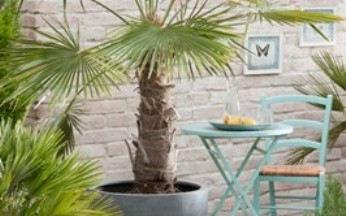 Trachycarpus Fortunei- Hardy Windmill Palm