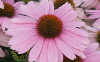 Echinacea (Coneflower) Compact Pink