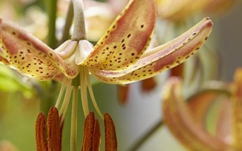Lilium Martagon Peppered Gold