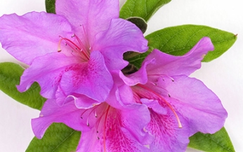 Rhododendron Lavender Bloom-A-Thon