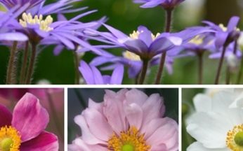 Japanese Anemone (Wind Flower) Mix