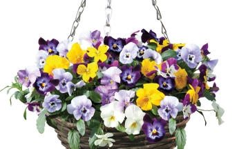 Winter Flowering Pansy in Hanging Basket