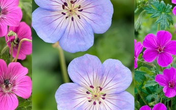 Geranium Mixed Collection