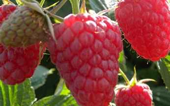 Rubus x loganobaccus Loganberry