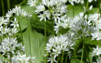 Allium ursinum (Wild Garlic)