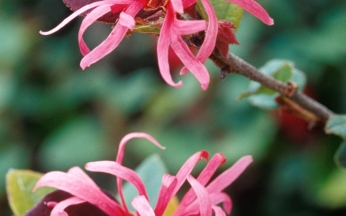 Loropetalum chinense Fire Dance