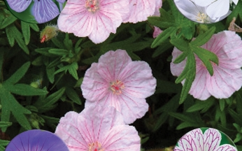 Surprise & Save Hardy Geranium Collection