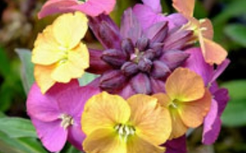 Erysimum Colour Changing Collection