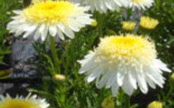 Leucanthemum x maximum Real Glory