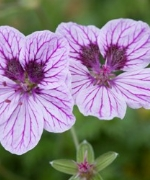 Erodium Collection