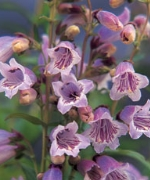 Penstemon Mother of Pearl