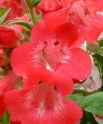 Penstemon Raspberry Ripple