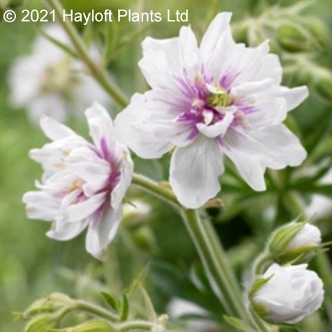 Plants & Plant Care Geranium plenum Double Diamond Star