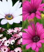 Osteospermum (Hardy) Collection