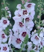 Verbascum Jolly Eyes