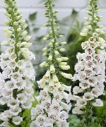 Digitalis (Foxglove) Collection