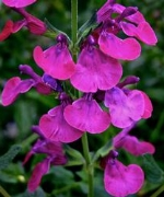 Salvia Cherry Pie